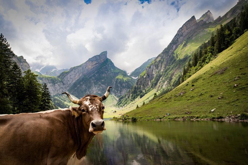 Cow enjoys nature and mountain lake of Switzerland