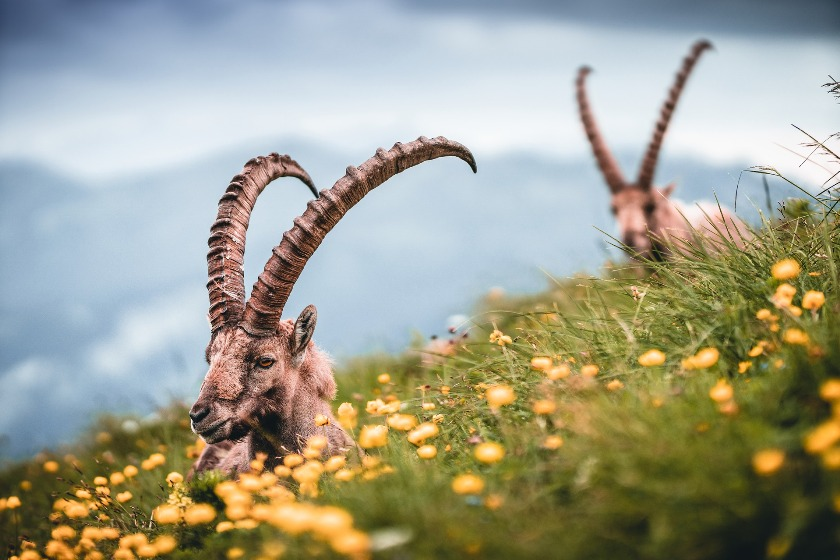 Swiss Capricorn enjoy mountain meadow and fresh air